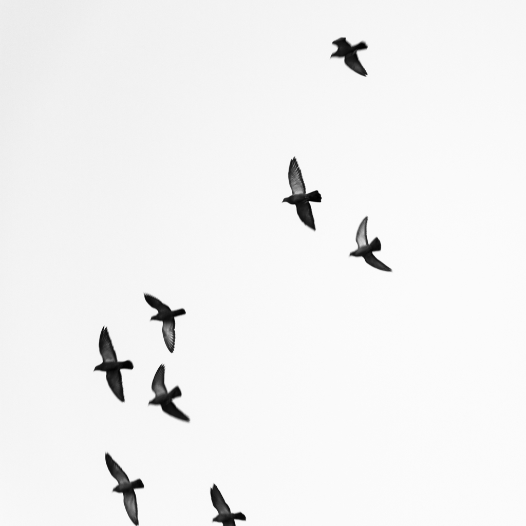 Birds Flying - Harrisburg, Pennsylvania - fine art nature photography