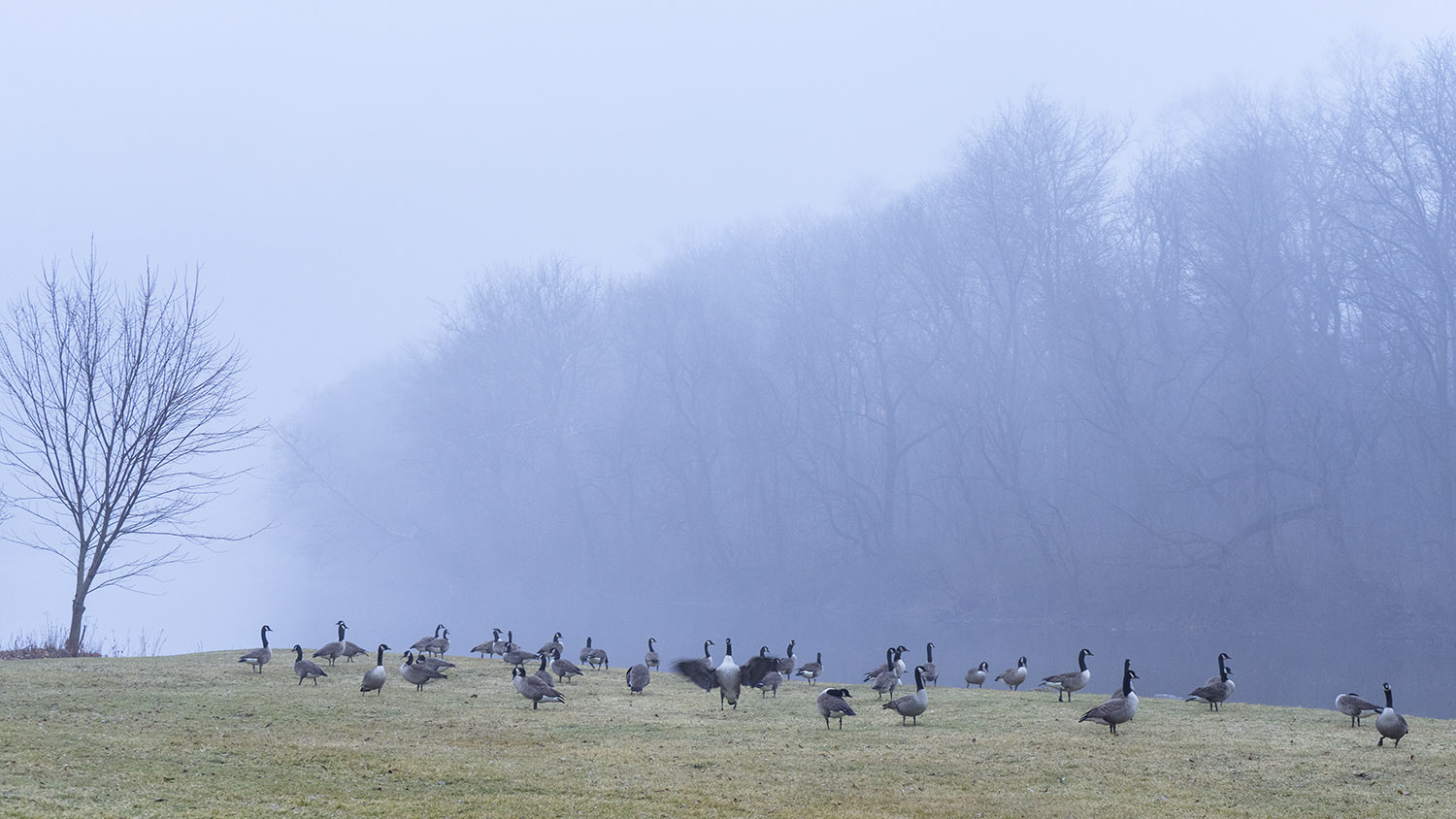 Canada Geese - fine art nature photography - Harrisburg, Pennsylvania