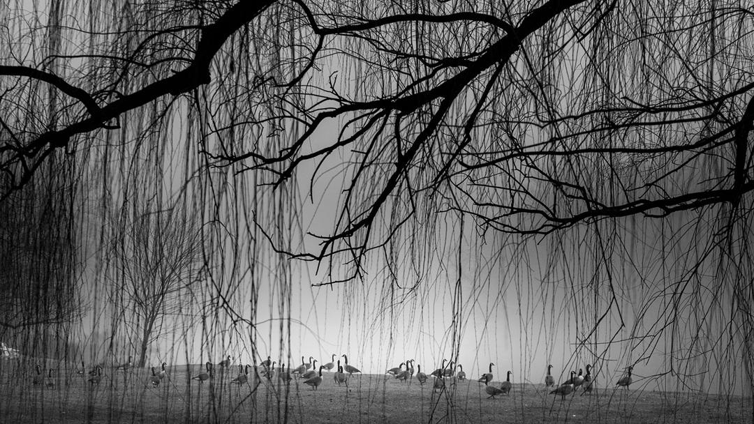 Canada Geese - fine art nature photography - Harrisburg, Pennsylvania