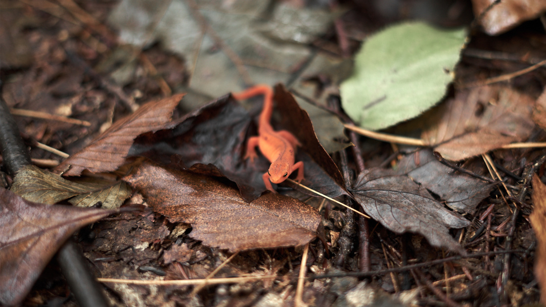 Eastern Red-Spotted Newt in Bald Eagle State Forest - Pennsylvania