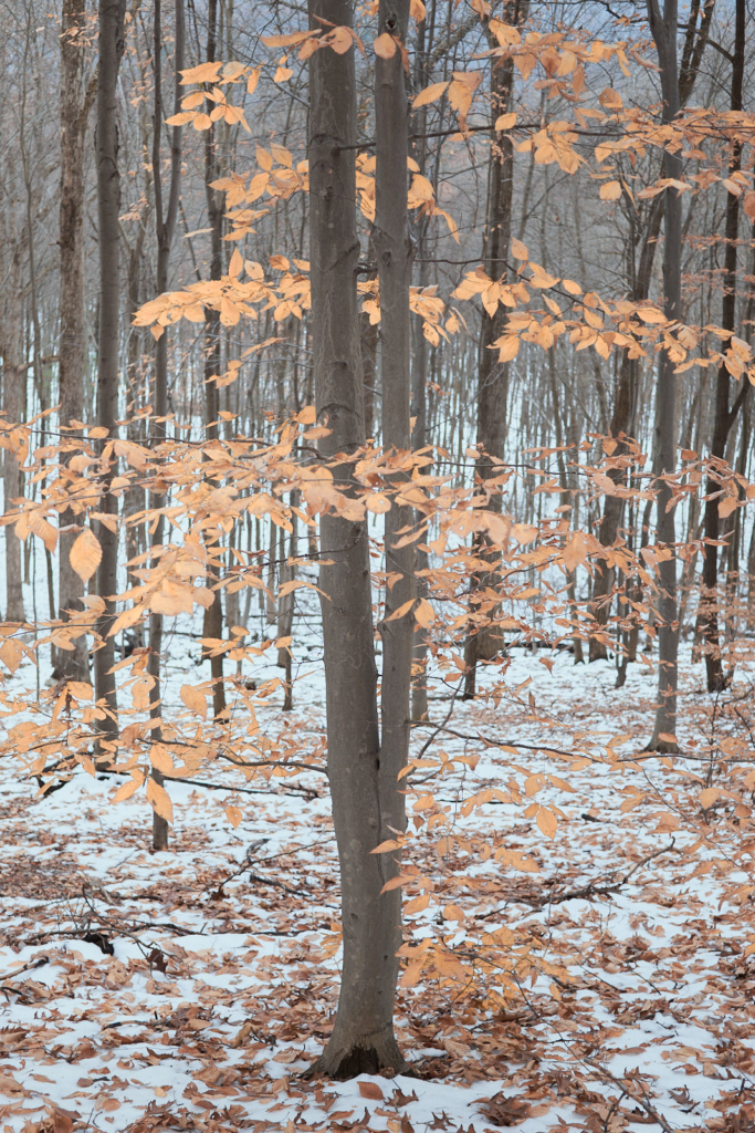 Beech Tree in a Snow Covered Forest - fine art nature photography - Pennsylvania