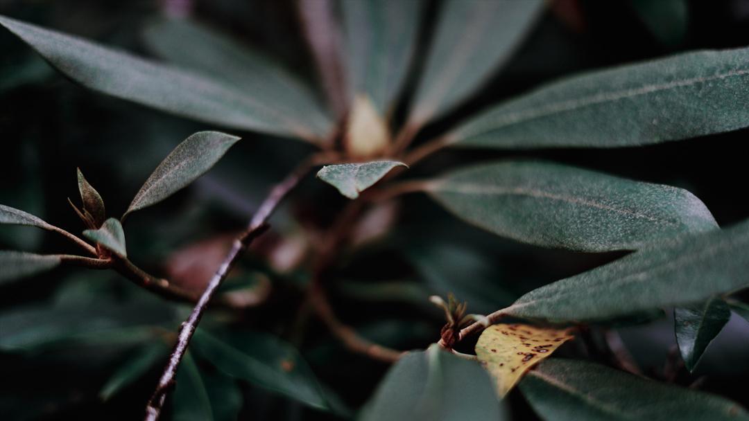 Rhododendron Brethren